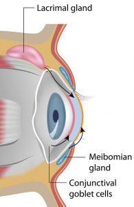 Dry Eye - Anatomy Drawing